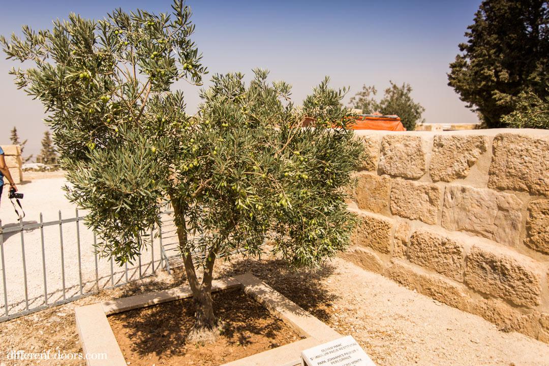 Mount Nebo Olive TRee