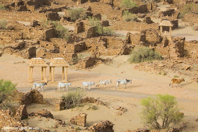 ghost town in India Kuldhara, cattle, ruins