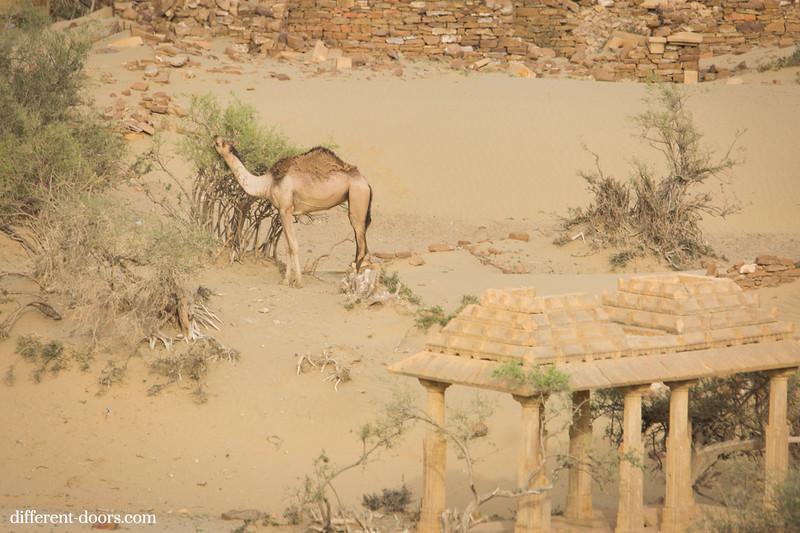 ghost town in India Kuldhara, camel